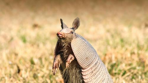 animals hero armadillo 0